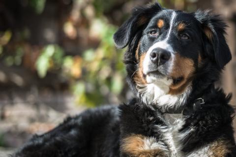 Das Histiozytäres Sarkom beim Hund