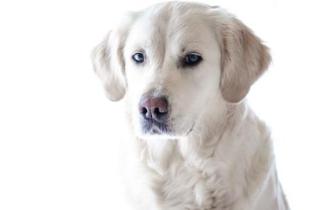 lymphom hund
